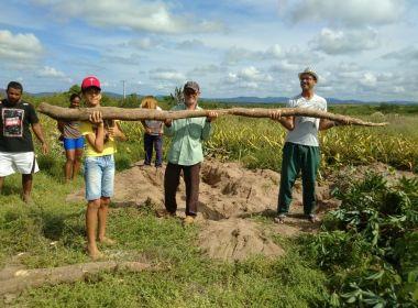 Moradores de Itaberaba colhem aipim 'gigante' de quase cinco metros 1