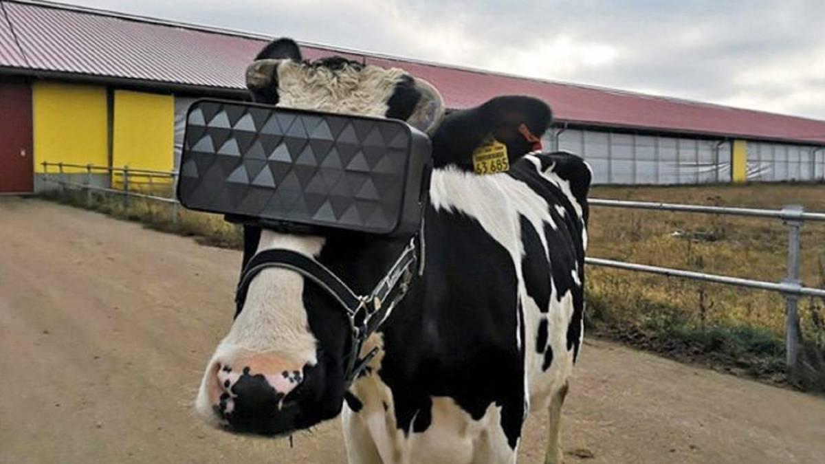 Vacas russas usam óculos de realidade virtual para aumentar produção de leite 1