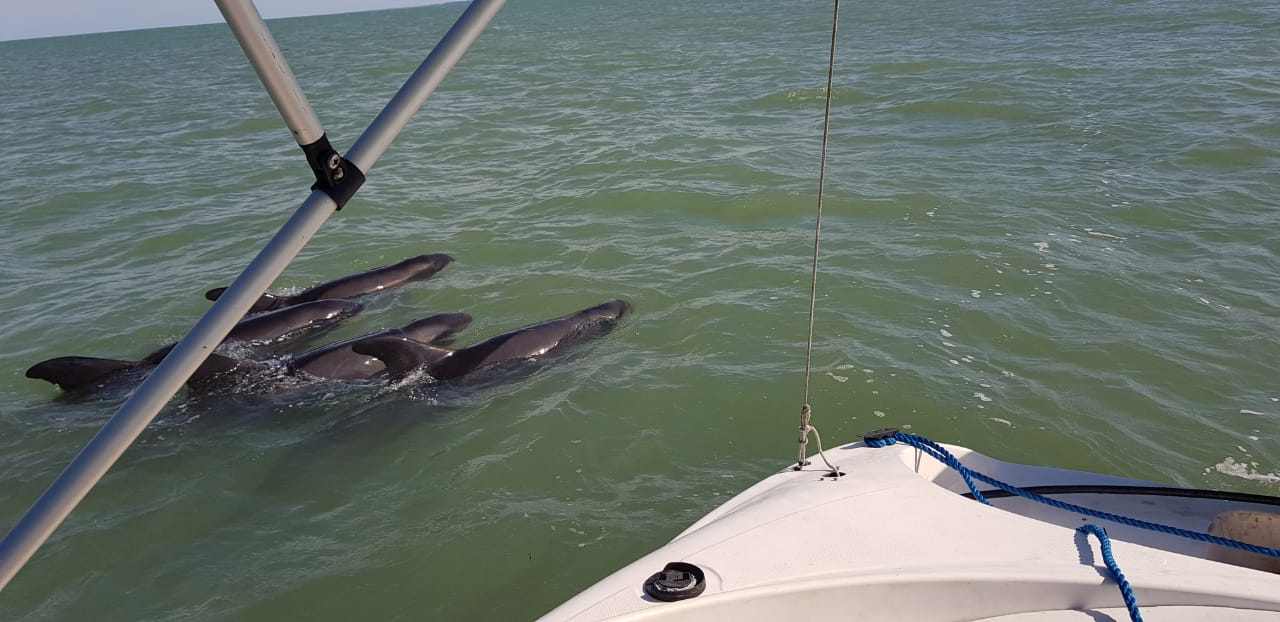 Grupo de golfinhos orca-pigmeias é resgatado em Porto Seguro 23