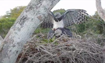Câmeras de monitoramento flagram imagens raras de cópula de harpias na RPPN Estação Veracel em Porto Seguro (BA); Veja vídeo 45