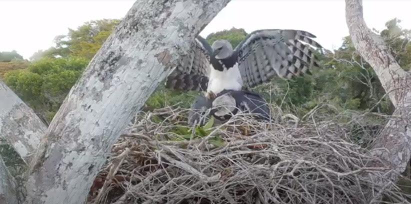 Câmeras de monitoramento flagram imagens raras de cópula de harpias na RPPN Estação Veracel em Porto Seguro (BA); Veja vídeo 18