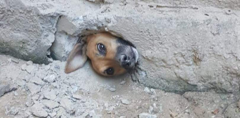 Vira-lata caramelo fica com cabeça presa em buraco após tentar espiar a vizinha; veja fotos 24