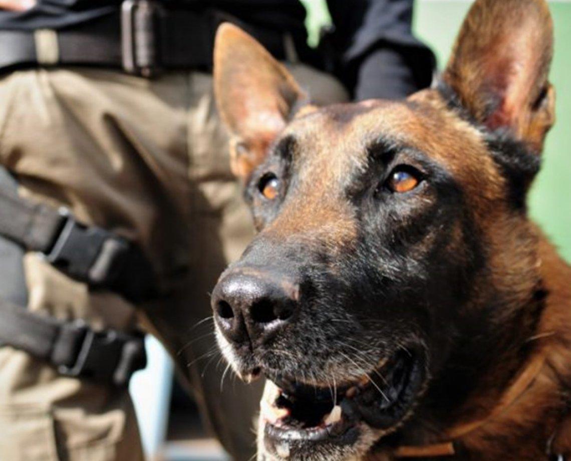 Cães detectam melhor a Covid-19 do que os testes rápidos, aponta estudo 18